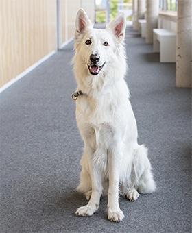 Therapiehund Akira